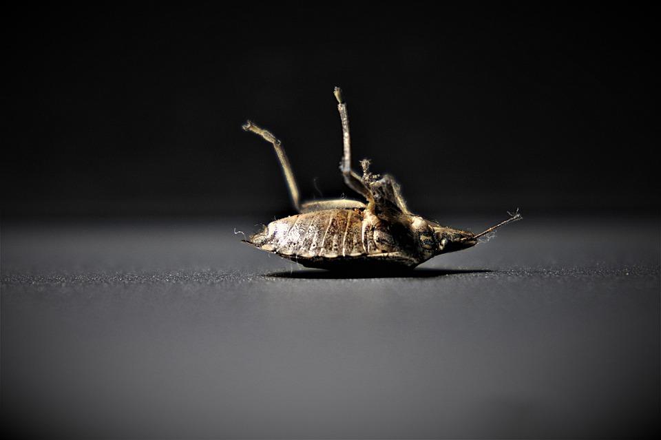 bedbugs-4332926_960_720